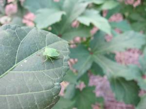 オクラの葉にカメムシ