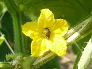 キュウリの花 蜂が受粉してくれる